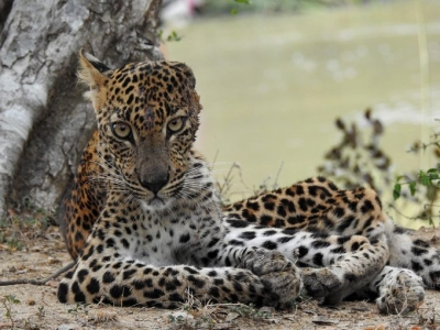 Opposition Leader Intervenes To Protect Ailing Young Leopard Found At Yala