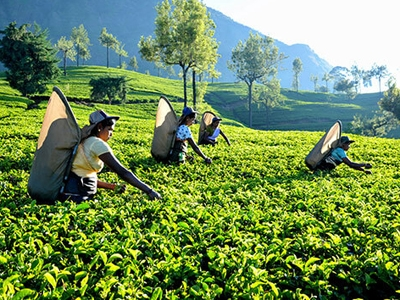 Loss making tea estate companies to be restructured