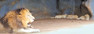 Lion And Zebra At Dehiwala Zoo Diagnosed With COVID19: Authorities Conducting Tests On Animals Died Within Last 02 Weeks