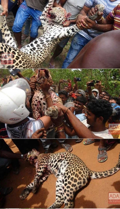 Leopard Beaten To Death By Angry Villagers In Killinochchi: Carcass Carried Around Triumphantly By Attackers